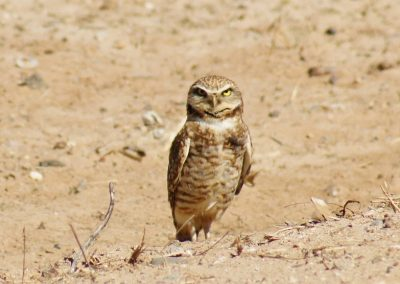 Desert Barn Owl